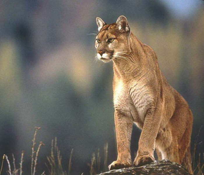 lastest images of puma animal picture wiki