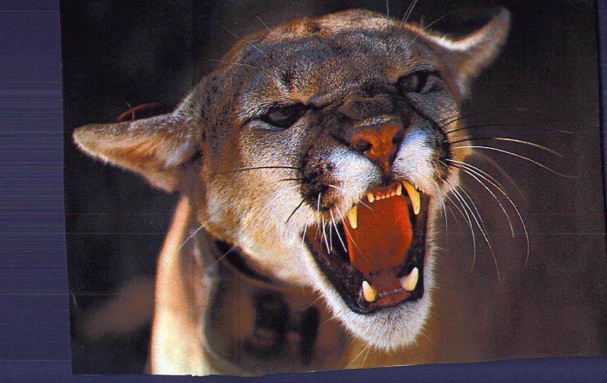 mountainlion cougar roaring facecloseup