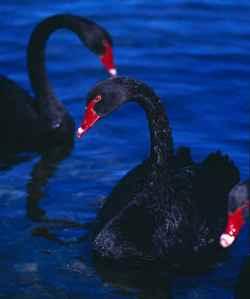 blackswans2