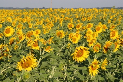 North Dakota sunflower field (posted just because I like it)