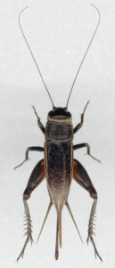 field-cricket1