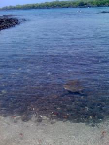 Sea turtle, Pu'uhonua