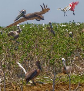 Brown Pelican Nesting Areas threated by Oil by Matthew Hinton of the TP